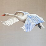 Swan flying (Sam Charles)